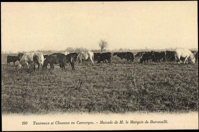 Camargue Vosges, Taureax Et Chevaux, Manade De M. Le Marquis De Baroncelli--Giclee Print