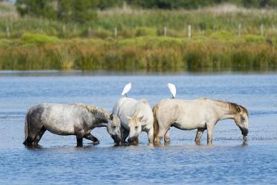 Camargue Wild Horses-Sergio Pitamitz-Photographic Print