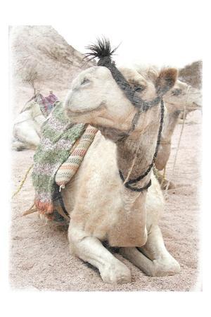 https://imgc.artprintimages.com/img/print/camel-2_u-l-q1g7hzg0.jpg?p=0