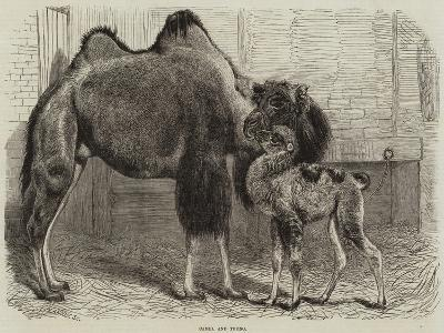 Camel and Young--Giclee Print