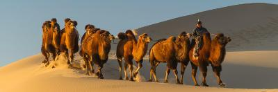 Camel Caravan in a Desert, Gobi Desert, Independent Mongolia--Photographic Print