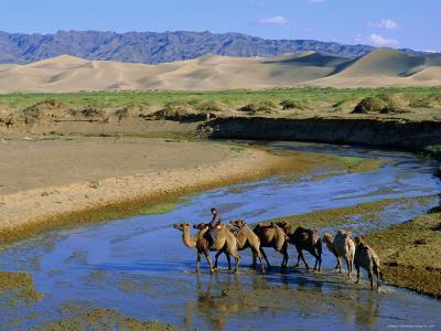 Camel Caravan, Khongoryn Els Dune, Gobi Desert National Park, Omnogov, Mongolia-Bruno Morandi-Photographic Print