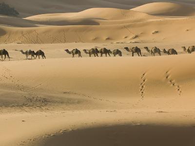 Camel Caravan on the Erg Chebbi Dunes, Merzouga, Tafilalt, Morocco-Walter Bibikow-Photographic Print