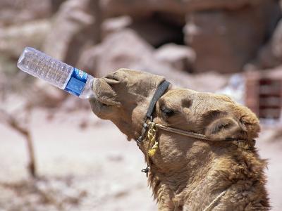 Camel Drinking, Jordan, Petra-Neale Clarke-Photographic Print