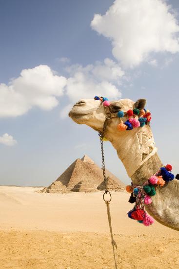 Camel in Desert with Pyramids Background-Grant Faint-Premium Photographic Print