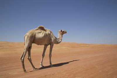 Camel in the Desert, Wahiba, Oman, Middle East-Angelo Cavalli-Photographic Print