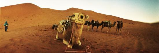 Camel in the Sahara Desert with a Berber Man in the Background, Morocco--Photographic Print