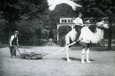 Camel Lawn-Mower, Ridden by Gardener Fred Perry at London Zoo, 1913-Frederick William Bond-Photographic Print