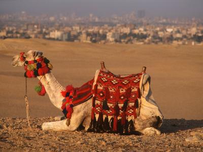 Camel Near Pyramids of Giza, Cairo, Egypt-Pat Canova-Photographic Print