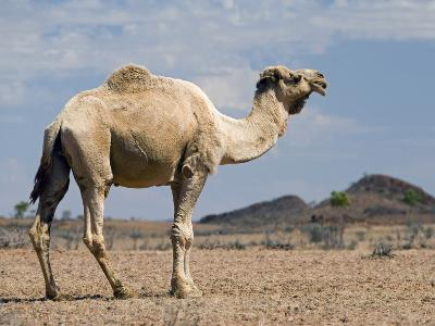 Camel Near Stuart Highway, Outback, Northern Territory, Australia-David Wall-Photographic Print