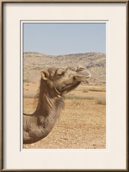 Camel Profile--Framed Photographic Print