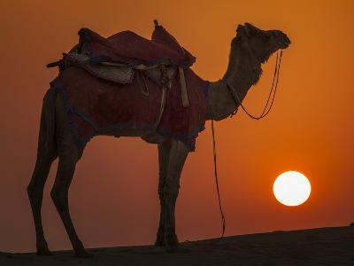 Camel Silhouetted Against the Setting Sun in the Thar Desert Near Jaisalmer, India-Frances Gallogly-Photographic Print