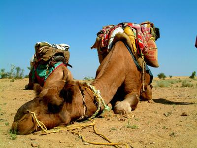 https://imgc.artprintimages.com/img/print/camel-sleeping-during-a-desert-safari-pause_u-l-q19xrfq0.jpg?p=0