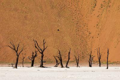 Camel Thorn Trees Against Red Sand Dunes in the Sossusvlei-Sergio Pitamitz-Photographic Print