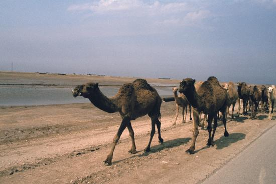 Camel Train Travelling on a Road Alongside the Euphrates Near Nasiriya, Iraq, 1977-Vivienne Sharp-Photographic Print