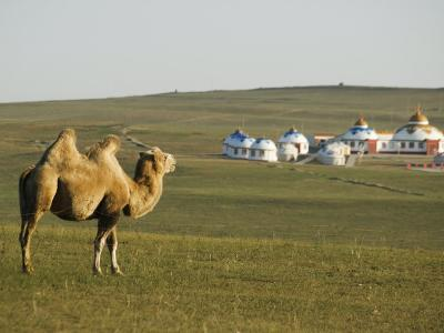 Camel with Nomad Yurt Tents in the Distance, Xilamuren Grasslands, Inner Mongolia Province, China-Kober Christian-Photographic Print