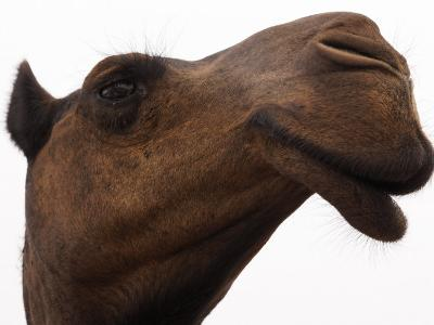 Camel with Oblong Nostrils and Drooping Lips-Randy Olson-Photographic Print