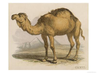 Camel with the Pyramids and Sphinx in the Background-Brittan-Giclee Print