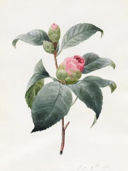 Camellia, 1826-Louise D'Orleans-Giclee Print