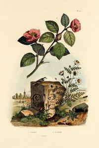 Camellia, 1833-39