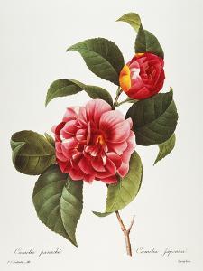 Camellia, 1833