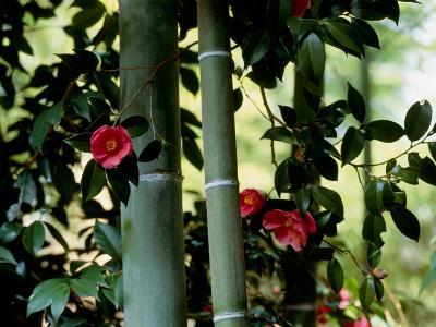 Camellia and Bamboo--Photographic Print