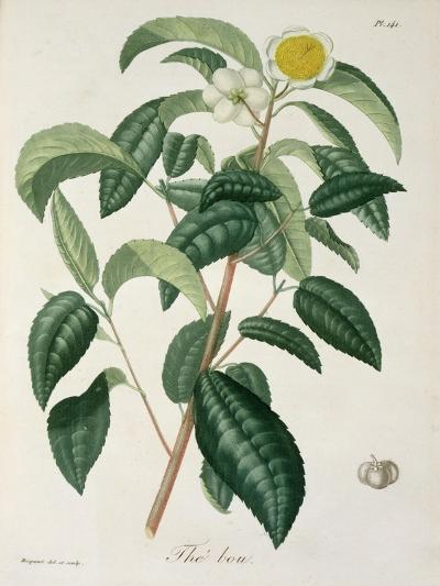 Camellia Thea from Phytographie Medicale by Joseph Roques-L.f.j. Hoquart-Giclee Print