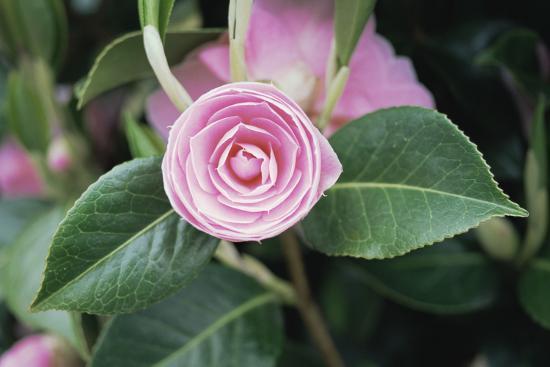Camellia X Williamsii 'E G Waterhouse'-Maxine Adcock-Photographic Print