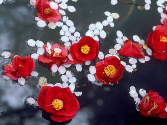Camellias and Cherry Petals, Jingoji Temple, Kyoto, Japan--Photographic Print