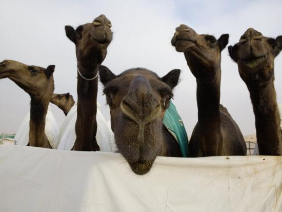 Camels are Kept Clean in Preparation for the Camel Beauty Contest-Randy Olson-Photographic Print