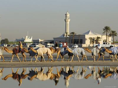 Camels at Dubai Camel Racecourse, Late Afternoon-Terry Carter-Photographic Print