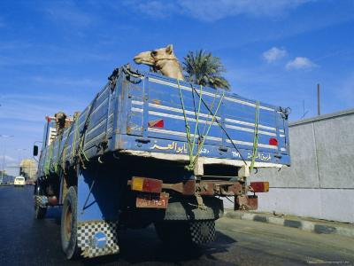 Camels Being Driven to Market in Back of Truck, Cairo, Egypt-Sylvain Grandadam-Photographic Print