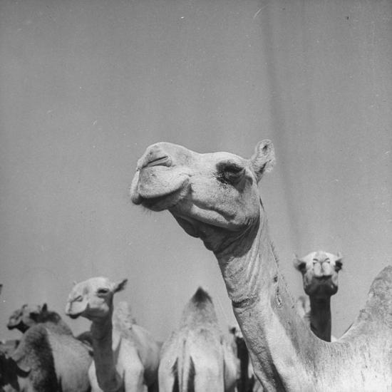 Camels Being Sold at Animal Market-Bob Landry-Photographic Print