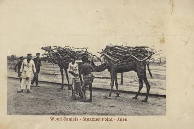Camels Carrying Wood, Steamer Point, Aden--Photographic Print