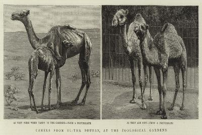 Camels from El-Teb, Soudan, at the Zoological Gardens--Giclee Print