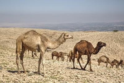 Camels Near the Dead Sea, Jordan, Middle East-Richard Maschmeyer-Photographic Print