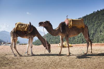 Camels on the Side of a Road in Morocco-Richard Nowitz-Photographic Print