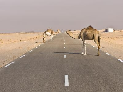 Camels Standing on the Road Between Nouadhibou and Nouakchott, Mauritania, Africa-Michael Runkel-Photographic Print