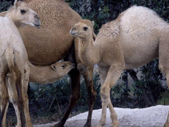 Camels-Henry Horenstein-Photographic Print