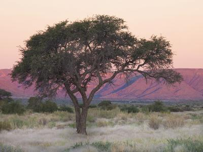 Camelthorn Tree Against Sandstone Mountains Lit by the Last Rays of Light from the Setting Sun-Lee Frost-Photographic Print