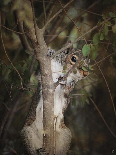 Camera Shy Squirrel-Jai Johnson-Giclee Print