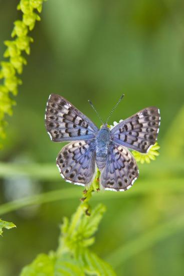 Cameron County, Texas. Blue Metalmark Butterfly Nectaring, Heliotrope-Larry Ditto-Photographic Print