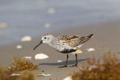 Cameron County, Texas. Dunlin Feeding on Beach During Spring Migration-Larry Ditto-Photographic Print