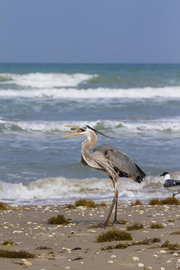 Cameron County, Texas. Great Blue Heron, Ardea Herodias, Feeding-Larry Ditto-Photographic Print