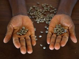 Worker from the Plantation 'Roca Nova Moka' in Sao Tomé Holds Some Coffee Beans by Camilla Watson