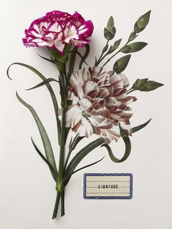 Floral Decoupage - Dianthus
