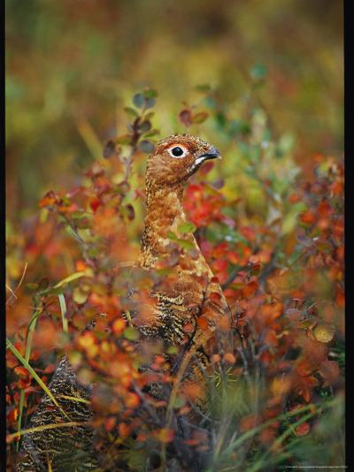 Camouflaged Willow Ptarmigan Among Autumn Colored Foliage-Michael S^ Quinton-Photographic Print