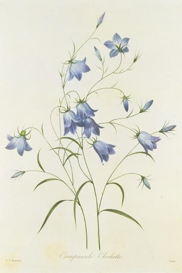 Campanula, from 'Choix Des Plus Belles Fleurs', 1827-33-Pierre-Joseph Redout?-Giclee Print