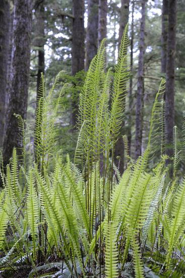 Canada, B.C. Carmanah Walbran Provincial Park. Ferns-Kevin Oke-Photographic Print