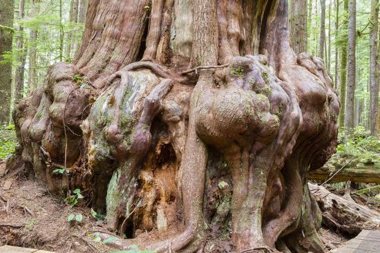 Canada, B.C, Port Renfrew, Avatar Grove, Ancient Red Cedar Tree-Jamie And Judy Wild-Photographic Print